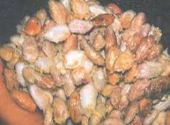 Kakaobohnen in der Fermention