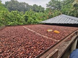 Kakaobohnen in der Sonne trocknen