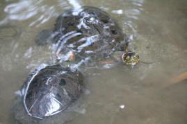 Rotwangenschmuckschildkröte ???