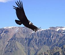 fliegender Andenkondor