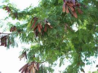 Yopofrüchte am Baum