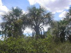 Buriti-Palme